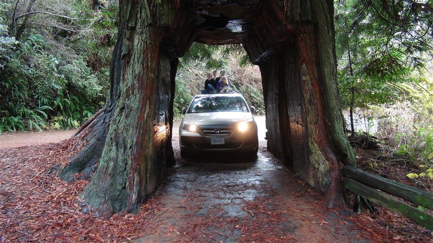 Driving Through A Redwood Tree