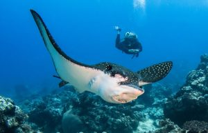 Manta Ray with diver
