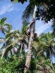 Climbing Coconut Tree.jpg